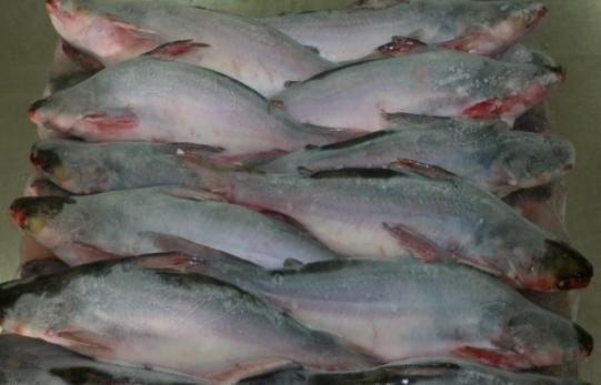 Frozen Pangasius Whole Round