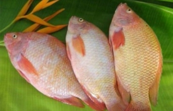 Frozen Red Tilapia Whole Round