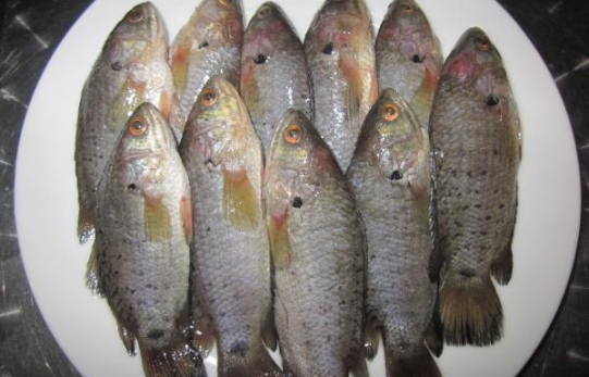 Frozen Climbing Perch Fish